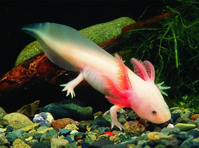 axolotl-mexican-walking-fish-101