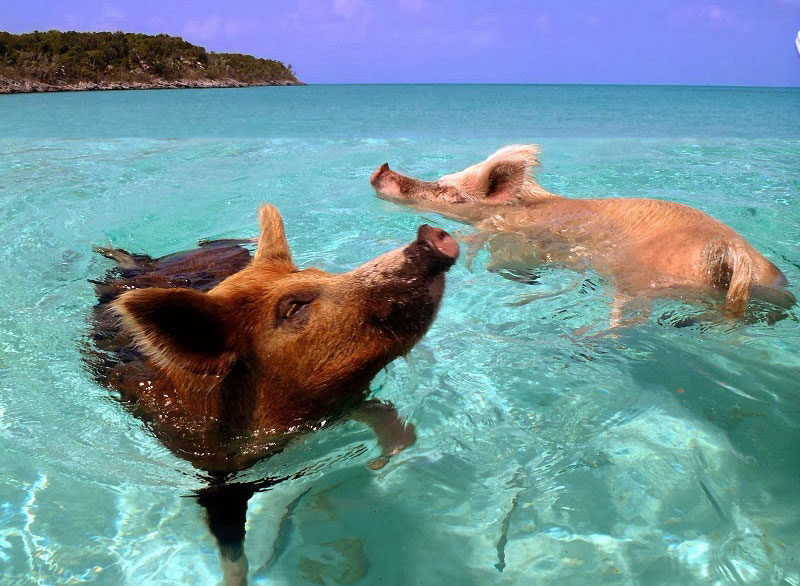 swimming_pigs_01