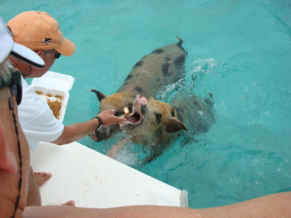 swimming_pigs_05