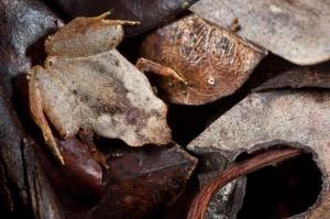 camouflage-frog-3_1808441i