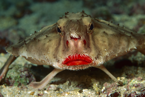 red-lipped-batfish-facts-for-kids