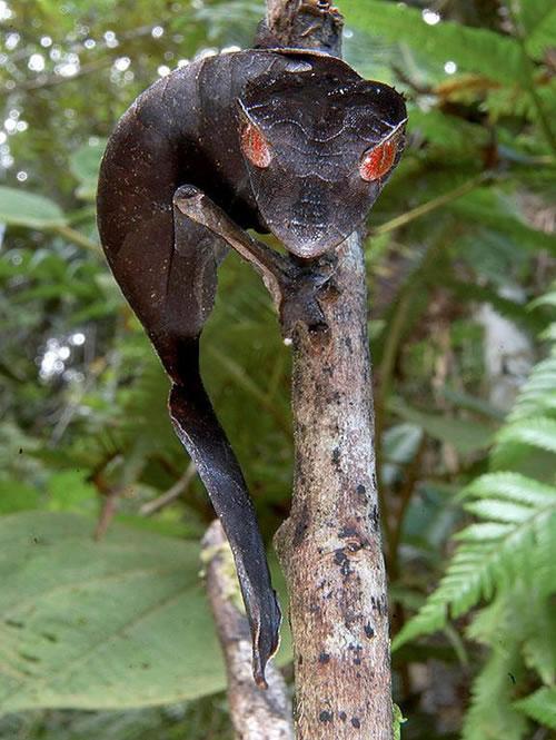 satanic-leaf-tailed-gecko